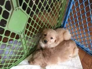 Golden Retriever Puppy For Sale in SOMERVILLE, TN