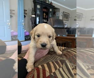 Goldendoodle Puppy for Sale in YUCAIPA, California USA