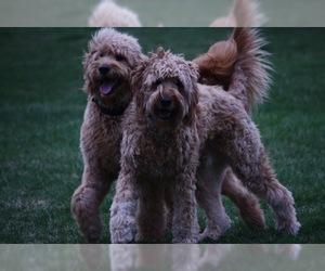 Affenpinscher Dogs for adoption in SAN FRANCISCO, CA, USA