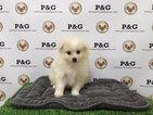 Pomeranian Puppy For Sale in TEMPLE CITY, CA,