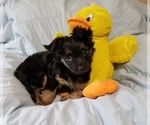Small #5 Chorkie-Yorkshire Terrier Mix