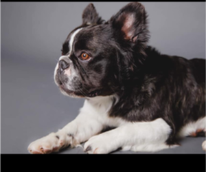 Father of the French Bulldog puppies born on 09/10/2019