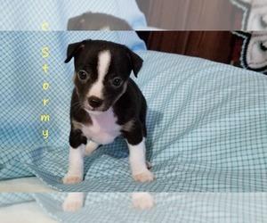 Rat Terrier Puppy for sale in CLARKRANGE, TN, USA