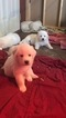 Great Pyrenees Puppy For Sale in WOODSBORO, MD
