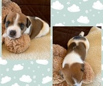 Puppy 2 Parson Russell Terrier