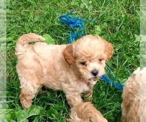 Poodle (Toy) Puppy for Sale in WARREN CENTER, Pennsylvania USA