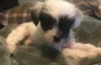 Small #14 Chinese Crested