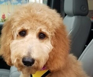 Goldendoodle Puppy for Sale in TREMONT, Illinois USA