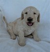 Double Doodle Puppy For Sale in COMER, GA, USA