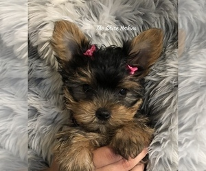 Yorkshire Terrier Puppy for Sale in ANTRIM, New Hampshire USA