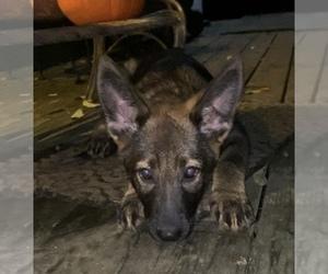 German Shepherd Dog Puppy for sale in WEST BALDWIN, ME, USA