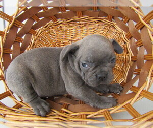 French Bulldog Puppy for sale in INDIANAPOLIS, IN, USA