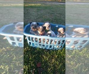 Australian Cattle Dog Puppy for sale in FERRUM, VA, USA