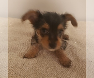 Yoranian-Yorkshire Terrier Mix Puppy for Sale in HUDDLESTON, Virginia USA