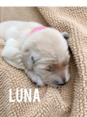 Golden Retriever Puppy For Sale in SEAGOVILLE, TX, USA