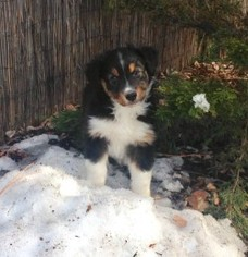 Australian Shepherd Puppy For Sale in DURANGO, CO