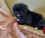 Puppy 3 Pekingese