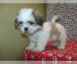 Shih Tzu Puppy for sale in PATERSON, NJ, USA