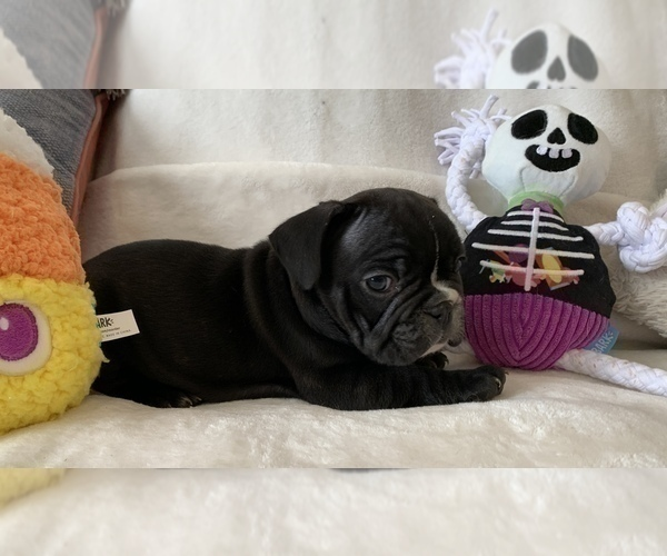 Medium Photo #7 French Bulldog Puppy For Sale in JOHNS ISLAND, SC, USA