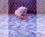 Small #22 Pomeranian