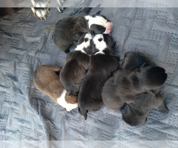 Medium Photo #2 American Bully-Bullypit Mix Puppy For Sale in N HIGHLANDS, CA, USA
