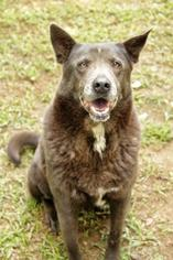 Velvet - German Shepherd Dog / Chow Chow / Mixed Dog For Adoption