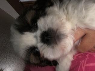 Shih Tzu Puppy For Sale in TRENTON, FL