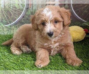 Maltipoo-Poodle (Miniature) Mix Puppy for sale in ARTHUR, IL, USA