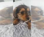 Small #3 Yorkie Russell