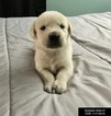 Golden Labrador Puppy For Sale in ROCHESTER, MA