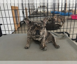 Mother of the French Bulldog puppies born on 06/17/2019