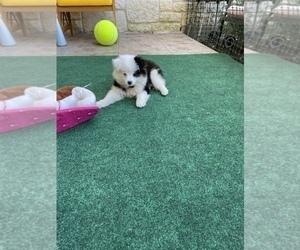 Australian Shepherd Puppy for sale in MC KINNEY, TX, USA