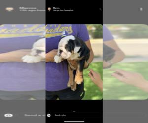 English Bulldog Puppy for sale in CEDAR PARK, TX, USA