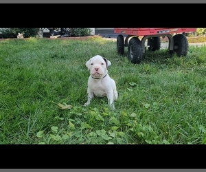 Boxer Puppy for sale in COLUMBUS, OH, USA