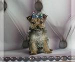 Puppy 6 Yorkshire Terrier