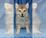 Small Photo #3 Pomsky Puppy For Sale in DENTON, TX, USA