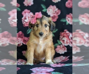 Sheltidoodle Puppy for sale in CHRISTIANA, PA, USA