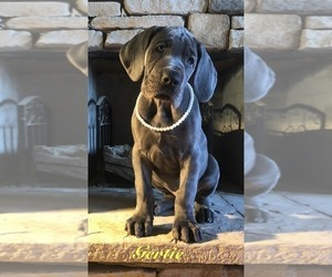 Great Dane Puppy for Sale in GEORGETOWN, Kentucky USA