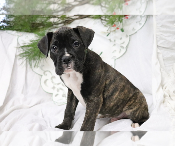 View Ad: Boxer Puppy for Sale near Denmark