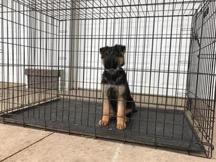 German Shepherd Dog Puppy For Sale in TOPEKA, IN
