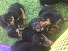 Rottweiler Puppy For Sale in ALVIN, TX, USA