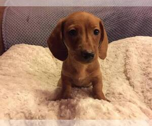 Dachshund Puppy for Sale in MILAN, Tennessee USA