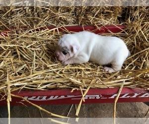 Olde English Bulldogge Puppy for sale in ONEIDA, IL, USA