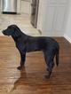 Labrador Retriever Puppy For Sale in TULSA, OK