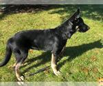 Small #417 German Shepherd Dog Mix