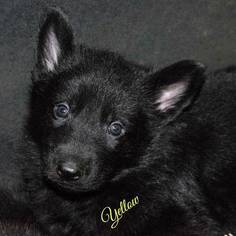 German Shepherd Dog Puppies and Dogs for Sale in USA
