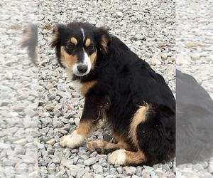 Miniature Australian Shepherd Puppy for sale in NEW WASHINGTN, IN, USA