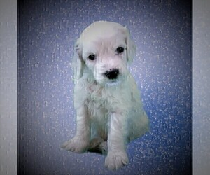Goldendoodle Puppy for Sale in CHEYENNE, Wyoming USA
