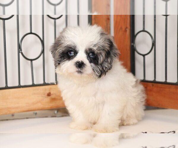 Medium Photo #1 Shih-Poo Puppy For Sale in NAPLES, FL, USA