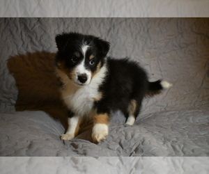 Shetland Sheepdog Puppy for Sale in HEPHZIBAH, Georgia USA